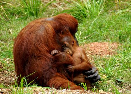 primates: Orangutan and baby Stock Photo