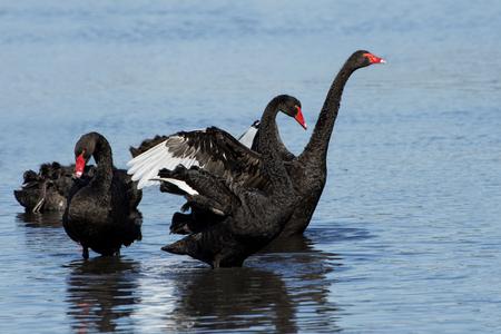 cisnes: Cisnes negros