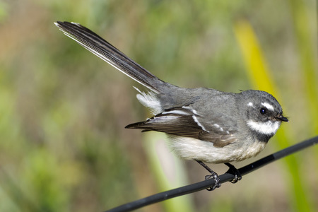 Dainty agile little Grey Fantail Rhipidura albiscapa related to Willie Wagtails.. Western Australia Stock Photo