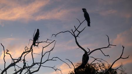 nesting: Carnabys Black Cockatoos, Short-billed Black Cockatoo Calyptorhynchus latirostris, large black cockatoos native to Western Australia