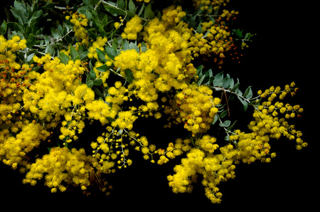 fragrant: Yellow mimosa flowers Stock Photo
