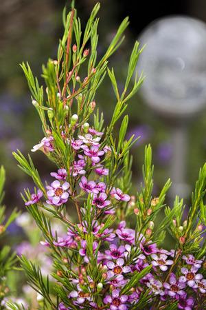 myrtaceae: Geraldton Wax flowers - Chamelaucium uncinata- Family Myrtaceae