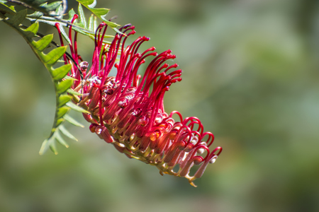 Australian Grevillea plant is an evergreen tree or shrub with uniquely shaped flowers. Red Grevillea Stock Photo