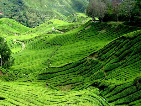 cameron highlands: Cameron Highlands Tea Plantations