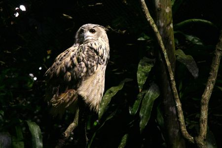 night owl: Owl - Night Safari, Singapore