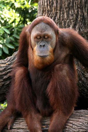 orang: Orang Utan - Singapore Zoo, Singapore
