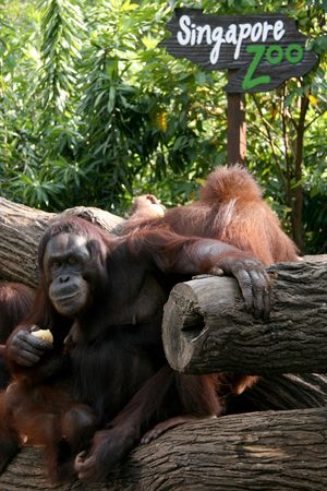 orang: Orang Utan with Singapore Zoo Sign Stock Photo