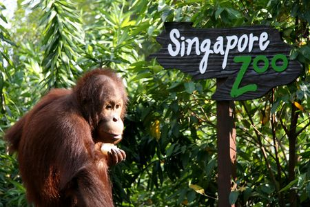 zoo animals: Orang Utan with Singapore Zoo Sign Stock Photo