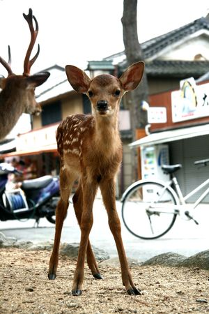 wobble:  Deer, Japan