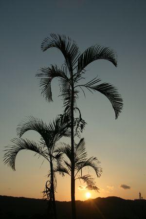 Palm Tree Silhouette - Iriomote Jima Island, Okinawa, Japan photo
