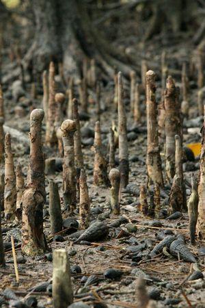 mangrove: Mangrove - Iriomote Jima Island, Okinawa, Japan