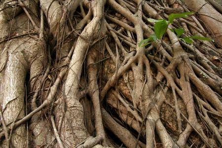 luis: Tree Roots - Luis de Camoes Garden, Macau Stock Photo