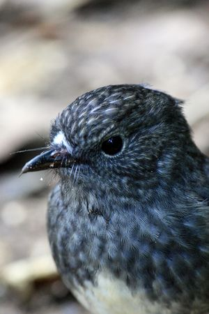 Bird - Karori Wildlife Sancutuary - New Zealand photo