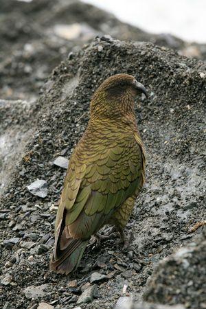 franz: Kea Bird (Mountain Parrot) - Franz Josef Glacier, New Zealand Stock Photo