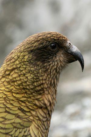 franz josef: Kea Aves (Mountain Parrot) - Glaciar Franz Josef, Nueva Zelanda Foto de archivo