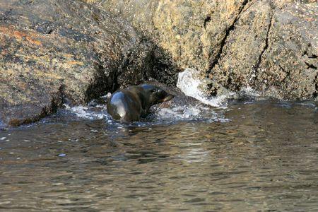Te: Seal - Milford Sound, Te Wahipounamu, New Zealand Stock Photo