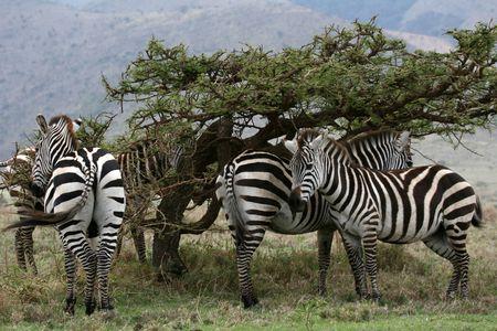 wildlife conservation: Serengeti Wildlife Conservation Area, Safari, Tanzania, East Africa