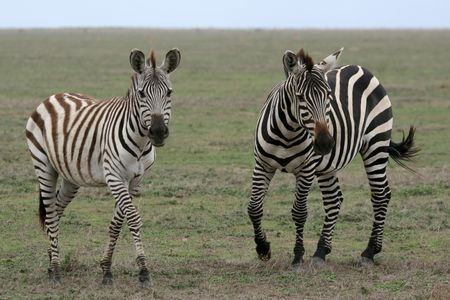 east africa: Serengeti Wildlife Conservation Area, Safari, Tanzania, East Africa