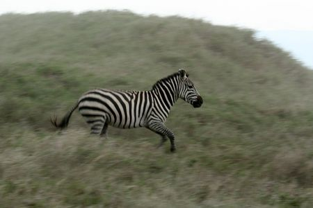 wildlife conservation: Zebra - Serengeti Wildlife Conservation Area, Safari, Tanzania, East Africa