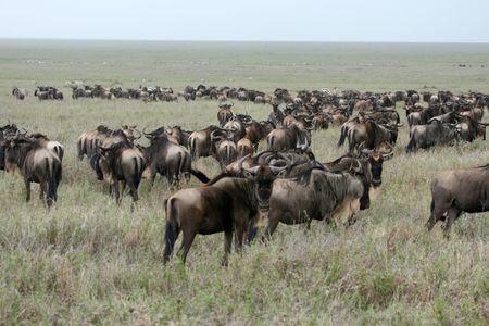 wildlife conservation: Wilderbeast  - Serengeti Wildlife Conservation Area, Safari, Tanzania, East Africa