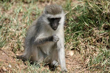 wildlife conservation: Vervet Monkey - Serengeti Wildlife Conservation Area, Safari, Tanzania, East Africa Stock Photo