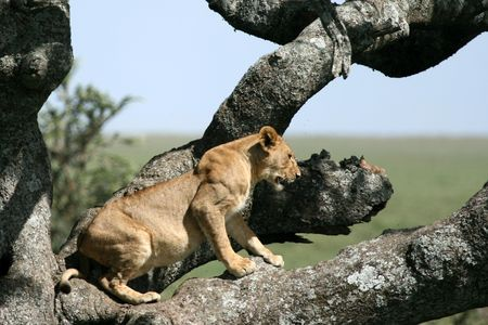 wildlife conservation: Lion sitting in Tree - Serengeti Wildlife Conservation Area, Safari, Tanzania, East Africa