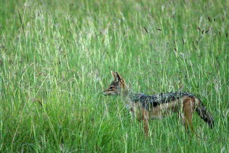wildlife conservation: Jackal - Serengeti Wildlife Conservation Area, Safari, Tanzania, East Africa Stock Photo