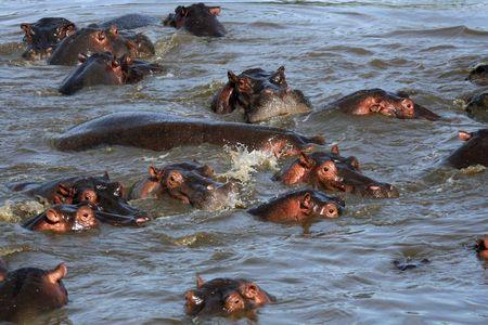 wildlife conservation: Hippos - Serengeti Wildlife Conservation Area, Safari, Tanzania, East Africa