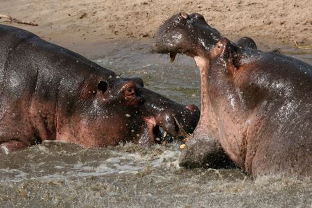 antagonistic: Hippos Fighting - Serengeti Wildlife Conservation Area, Safari, Tanzania, East Africa Stock Photo