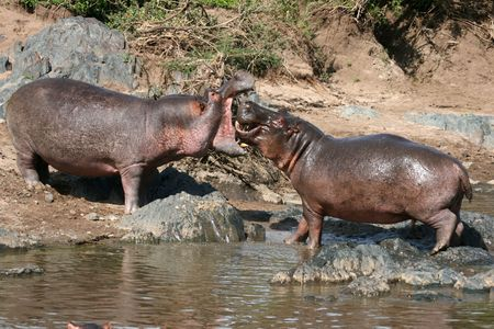 wildlife conservation: Hippos Fighting - Serengeti Wildlife Conservation Area, Safari, Tanzania, East Africa Stock Photo