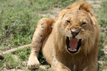 Lion - Serengeti Wildlife Conservation Area, Safari, Tanzania, East Africa Stock Photo - 5267985