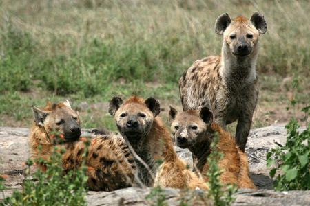 migrating animal: Hyena - Serengeti Wildlife Conservation Area, Safari, Tanzania, East Africa