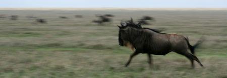 Wilderbeast  - Serengeti Wildlife Conservation Area, Safari, Tanzania, East Africa photo