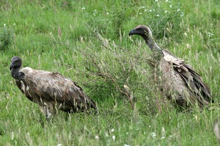 wildlife conservation: Vulture - Serengeti Wildlife Conservation Area, Safari, Tanzania, East Africa