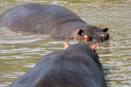 Hippos Fighting - Serengeti Wildlife Conservation Area, Safari, Tanzania, East Africa Stock Photo - 5279667