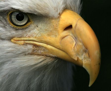 Bald Eagle - National symbol of USA - Bird of Prey, Alaska photo