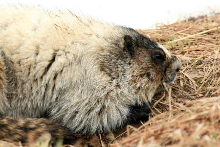 Marmot - Mt Roberts in the capital city Juneau of Alaska, USA photo