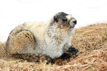 Marmot - Mt Roberts in the capital city Juneau of Alaska, USA photo