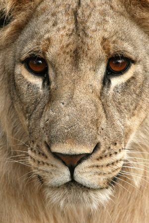 Lion - Tarangire National Park - Wildlife Reserve in Tanzania, Africa photo