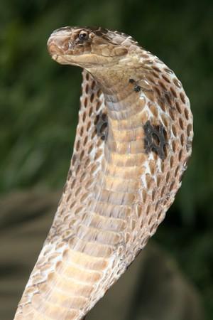 serpiente cobra: King Cobra Snake, en el norte de la India  Foto de archivo