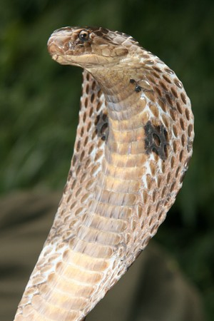 King Cobra Snake in Northern India Stock Photo - 7127043