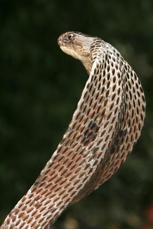 King Cobra Snake in Northern India photo