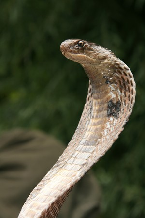 King Cobra Snake in Northern India Stock Photo