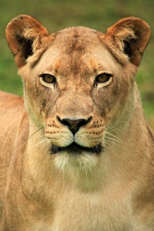 entebbe: Lion - Wildlife in Uganda, Africa