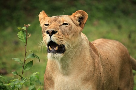 Lion - Wildlife in Uganda, Africa