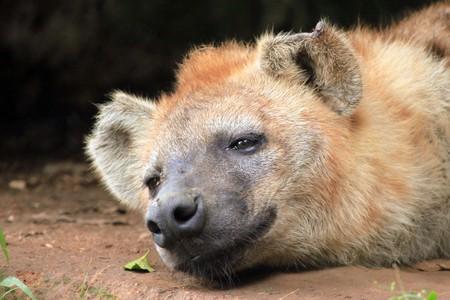 entebbe: Spotted Hyena - Wildlife in Uganda, Africa Stock Photo