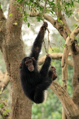 Chimpanzee - Wildlife in Uganda, Africa