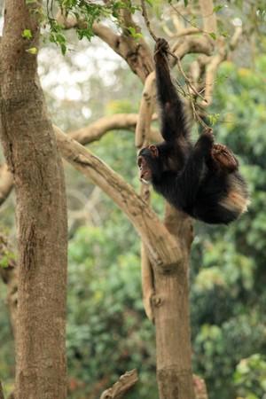 entebbe: Chimpanzee - Wildlife in Uganda, Africa