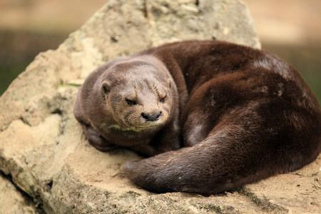 entebbe: Otter - Wildlife in Uganda, Africa