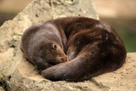 Otter - Wildlife in Uganda, Africa
